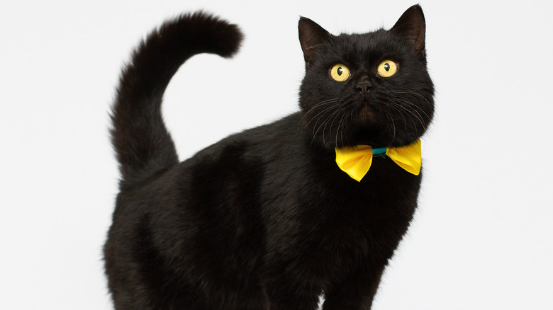 Black cat with gold bow tie