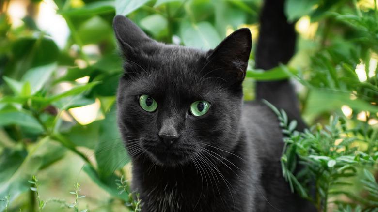 Black cat in greenery