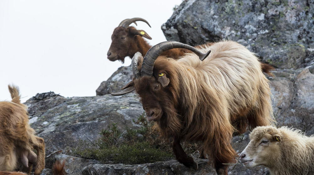 Brown long-haired goats on cliff