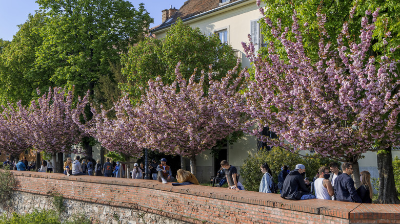 People gathering underneath cherry blossoms