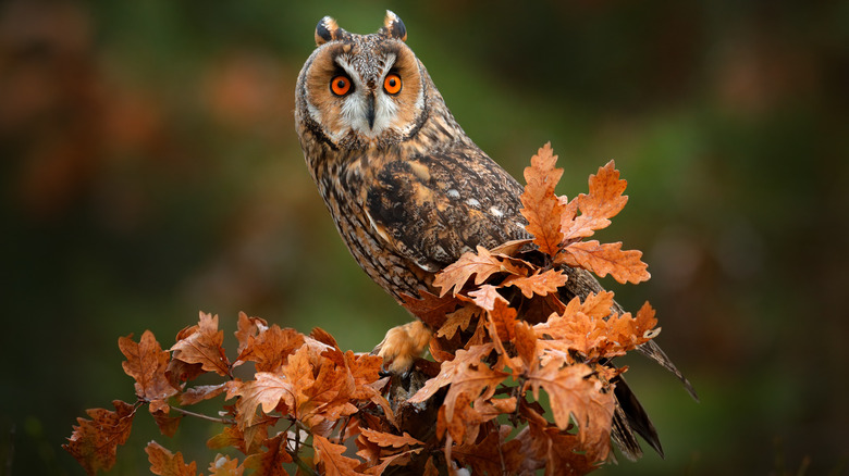 Owl on tree branch with orange leaves