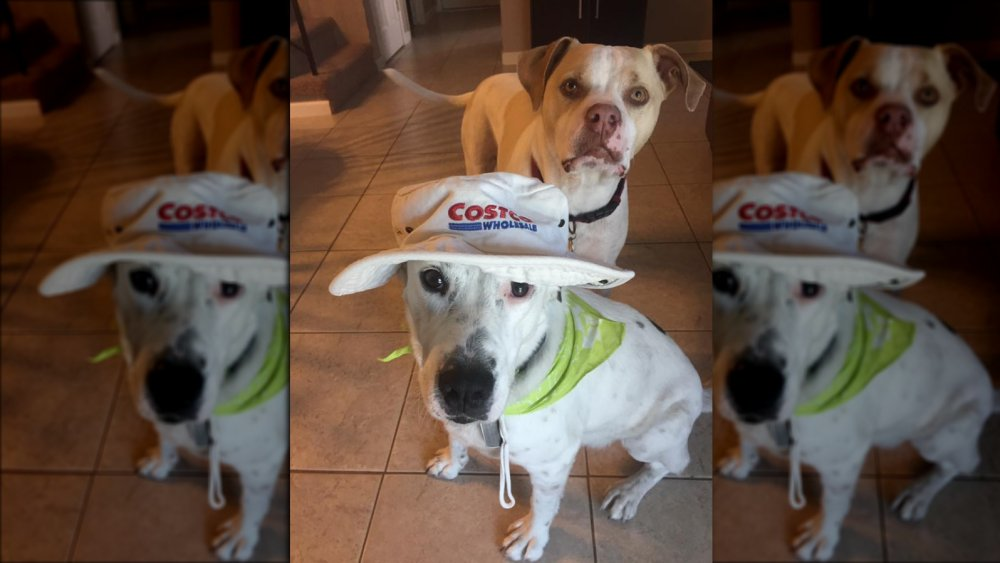 Dog in Costco hat
