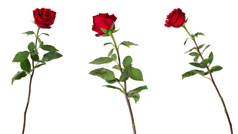 Three long-stemmed red roses