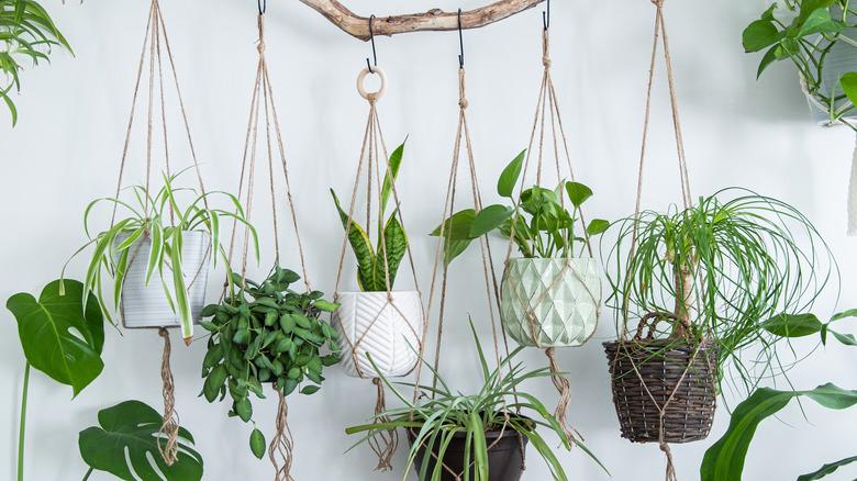 Houseplants hang in macrame hangers in a row.