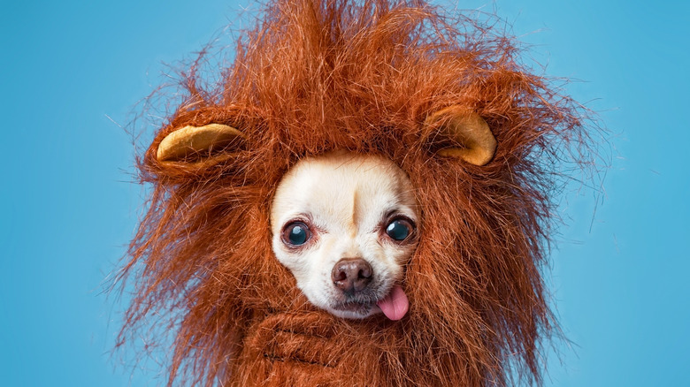 Chihuahua in a lion costume