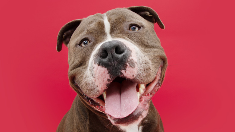 Pitbull with tongue out