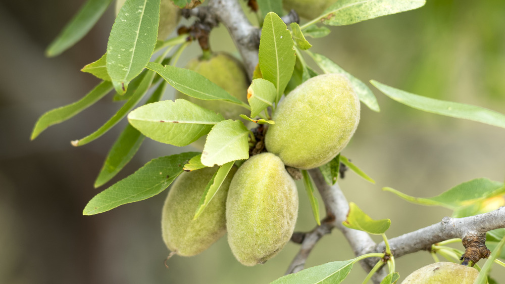 Young almonds growing on tree