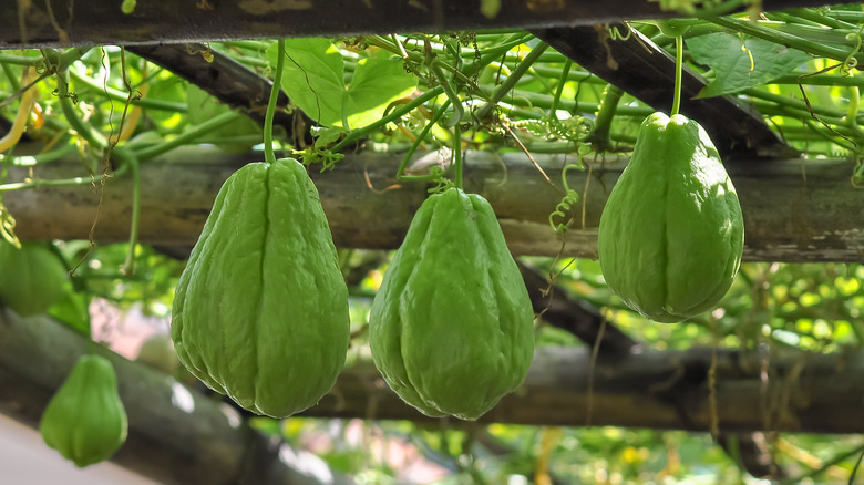 Three chayote growing on a vine
