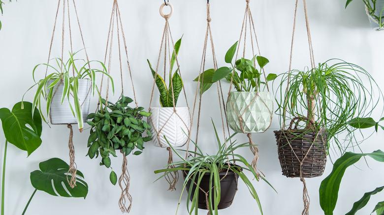 Hanging indoor plants