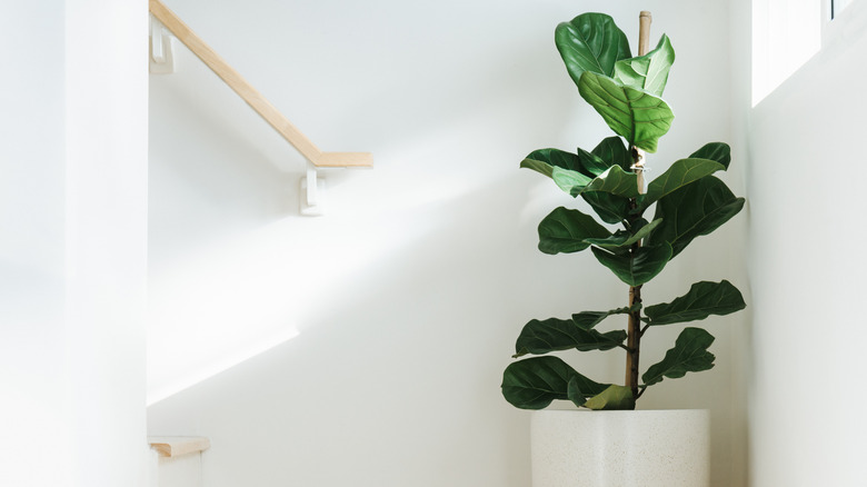 fiddle leaf fig in the corner of a white house