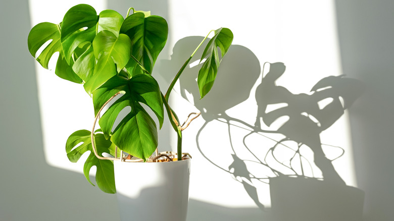 Monstera in sunlight with shadow