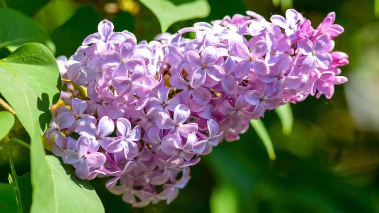 Lilac flowers bathed in sunlight
