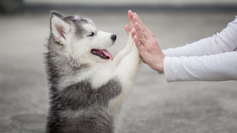 Husky puppy high-fiving