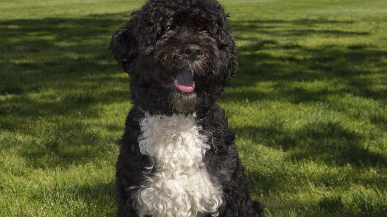 Former first dog Bo Obama