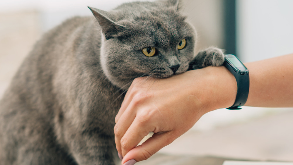 Gray cat biting a hand