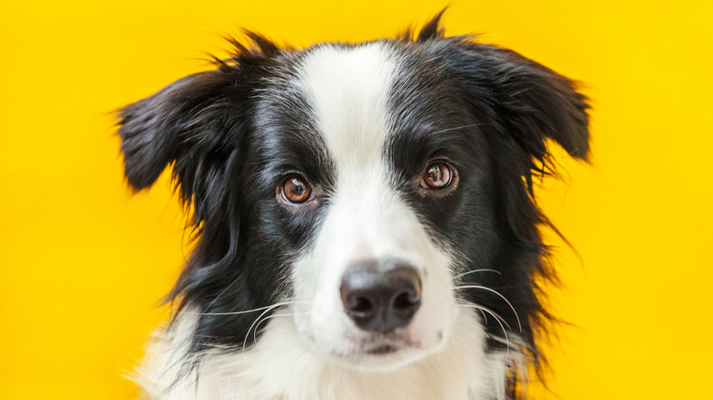 Cute dog in front of yellow background