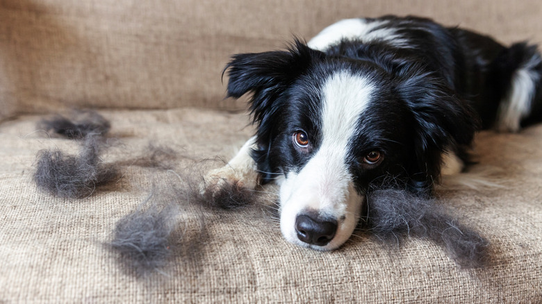 Dog on couch with hair balls