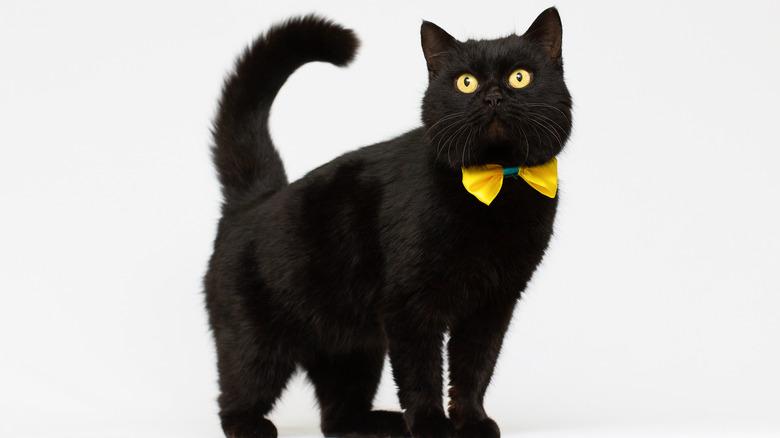 Black cat wearing bow tie