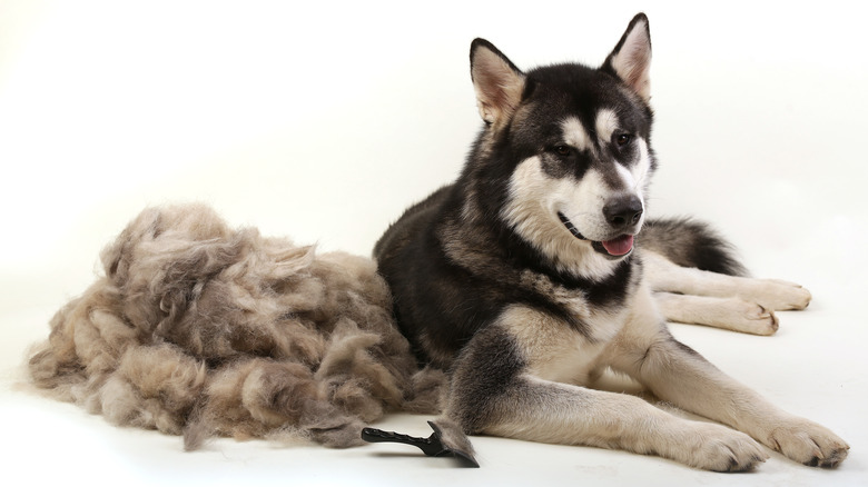 Malamute with pile of shed fur