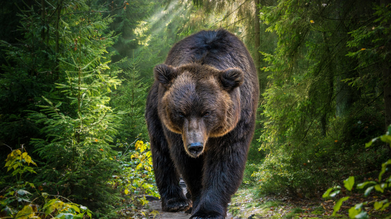 A bear in the woods