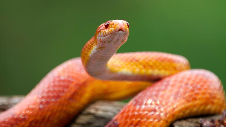Rec corn snake on branch