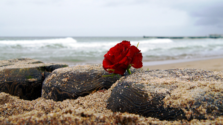 red rose on a beach