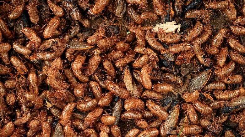 Pile of cicadas