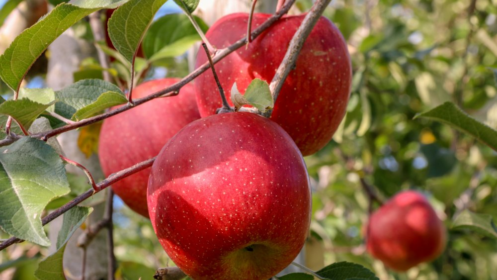 apples in a Japanese orchard