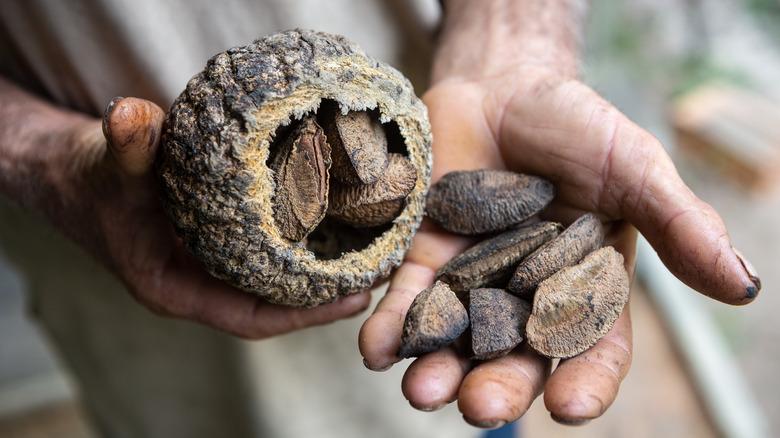 Man holding Brazil nuts