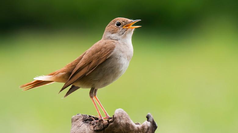 A nightingale