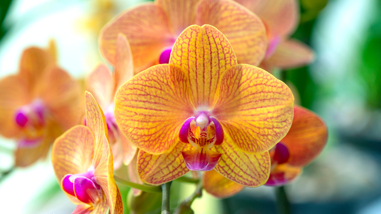 Orange dendrobium orchid with pink veins